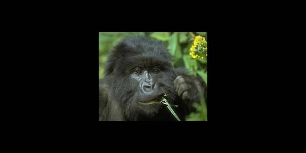 Sombre avenir pour les gorilles - La DH