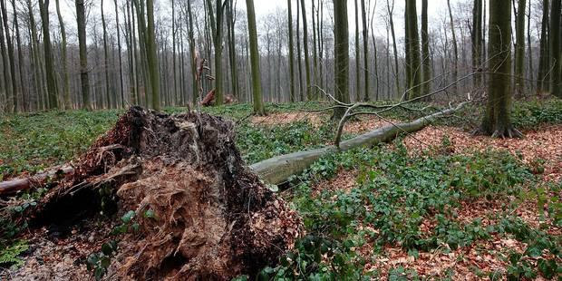 Réchauffement climatique: le mal hêtre de la forêt de Soignes - La DH
