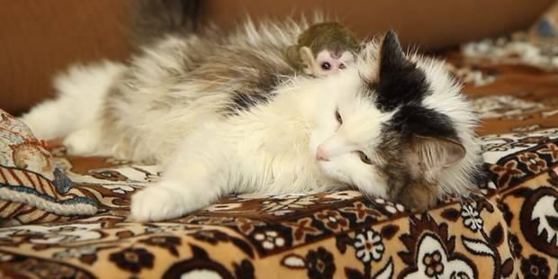 Un chat adopte un bébé singe rejeté par sa mère - La DH