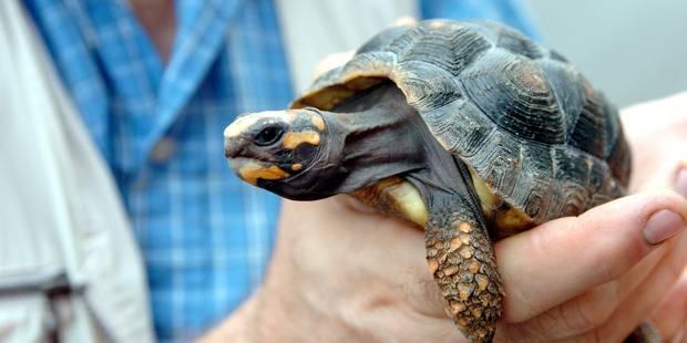 Saisie spectaculaire de plus de 300 tortues - La DH