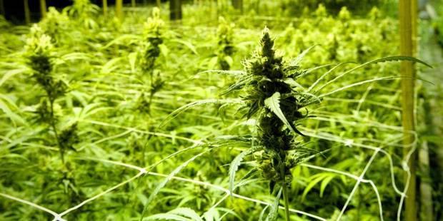 Awans : 300 plants de cannabis découverts par la police - La DH
