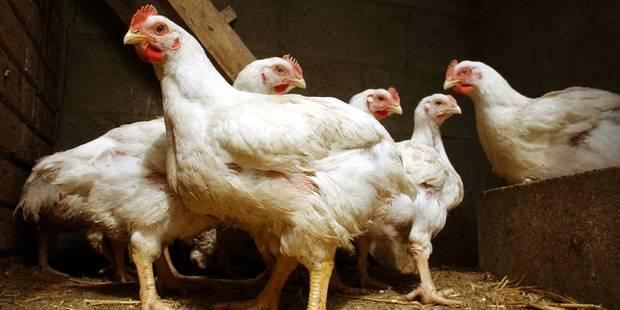 """Grippe aviaire : six contaminations en deux semaines en Belgique, la situation est """"plus que préoccupante"""" - La DH"""