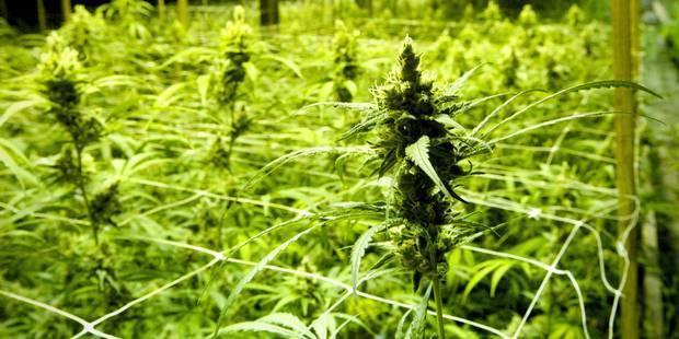 Grâce-Hollogne : des plantations de cannabis découvertes - La DH