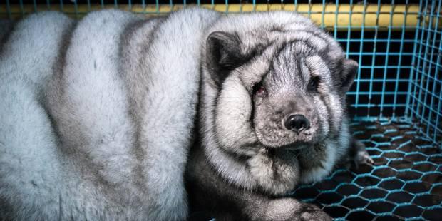 Des renards gavés jusqu'à la mort pour vendre un maximum de fourrure aux marques de luxe - La DH