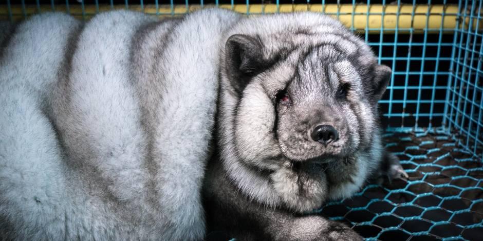 Des renards gavés jusqu'à la mort pour leur fourrure — Polémique en Finlande