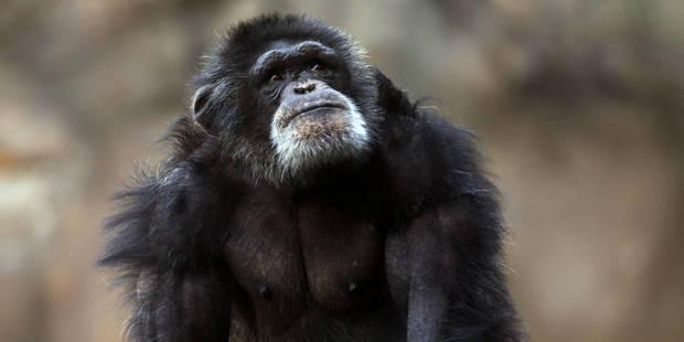 Un chimpanzé est-il une personne? Des juges new-yorkais refusent de statuer