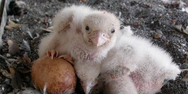 Saint-Michel et Gudule : un fauconneau est né ! - La DH