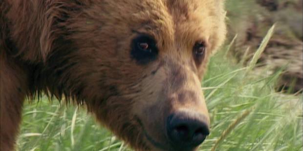 Un chasseur survit à l'attaque d'un grizzly et aux balles de son sauveteur - La DH