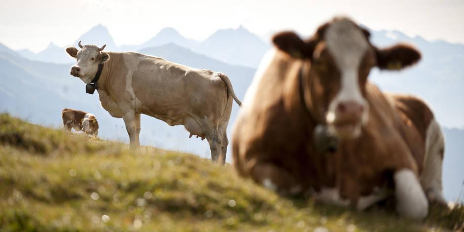 Pourquoi les vaches affolent-elles les radars suisses ?
