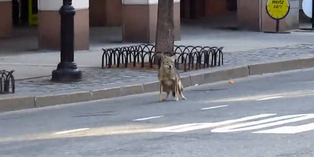 Course-poursuite dans les rues de New York entre la police et... un coyote - La DH