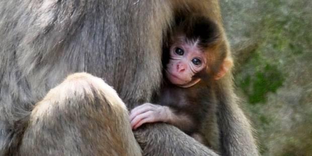 Pol�mique: Charlotte, un nom de singe?
