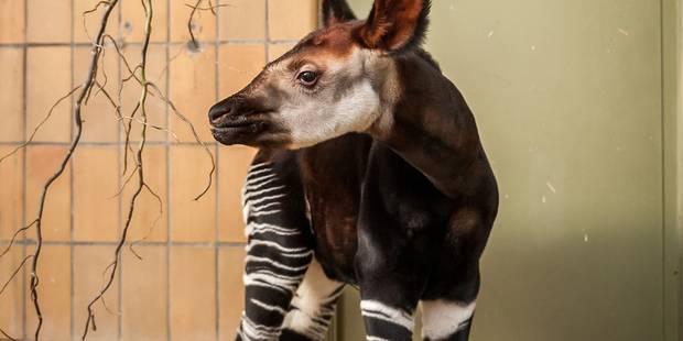 Qira, le bébé okapi né au zoo d'Anvers (PHOTOS) - La DH