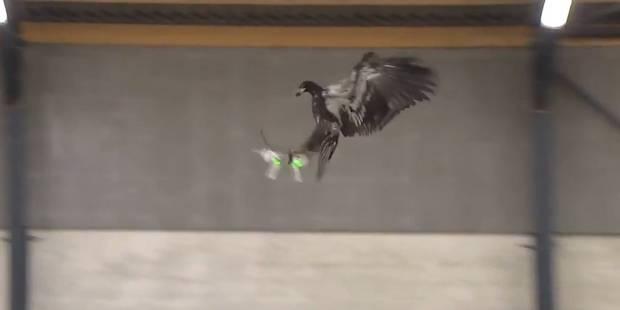 La police néerlandaise veut utiliser des rapaces contre les drones malveillants (VIDEO) - La DH