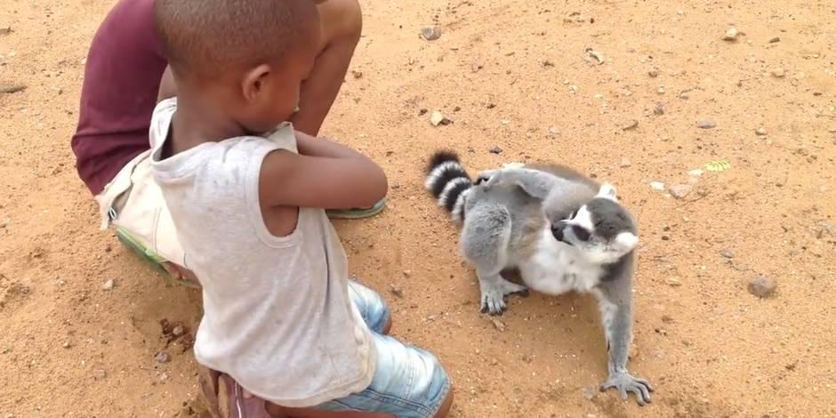 Un lémurien qui sait ce qu'il veut !
