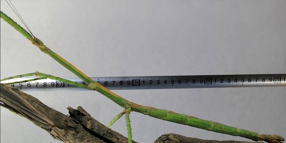 Voici le plus long insecte au monde (PHOTOS)