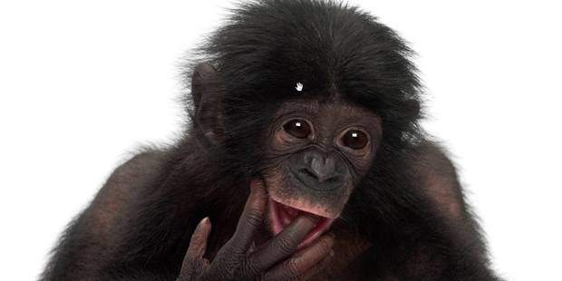 Pas de bonobo dans le sac ! Les douaniers traquent les souvenirs de vacances - La DH