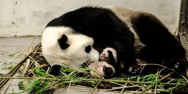 Le b b panda de pairi daiza grandit bien photos - Image de panda a imprimer ...