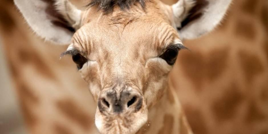 Un girafon meurt le cou coincé dans le grillage à Planckendael
