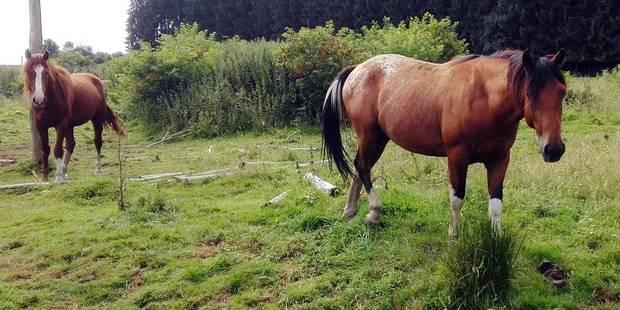 Deux chevaux maltraités à Limerlé - La DH