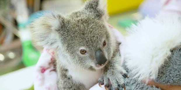 Un koala orphelin se console avec une peluche (VIDEO) - La DH