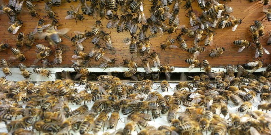Des abeilles pour mesurer la pollution à Bruxelles