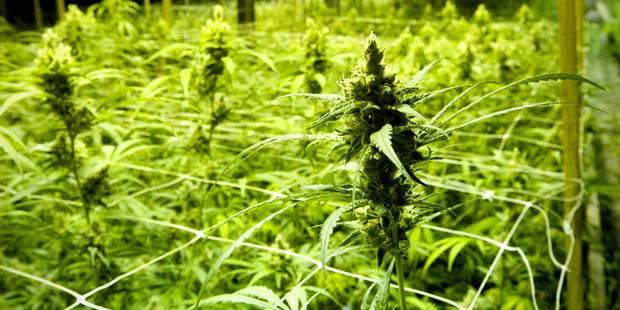 Un cultivateur de cannabis se livre à la police à Herstal - La DH