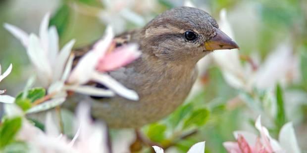 Les oiseaux désertent nos jardins - La DH