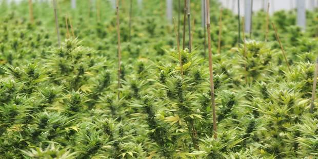 Tournai: Le président du cannabis social club acquitté - La DH
