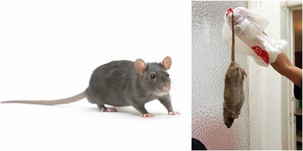 """Invasion de rats dans les rues bruxelloises: """"On en dénombre de 2 à 3 par habitant"""" - La DH"""