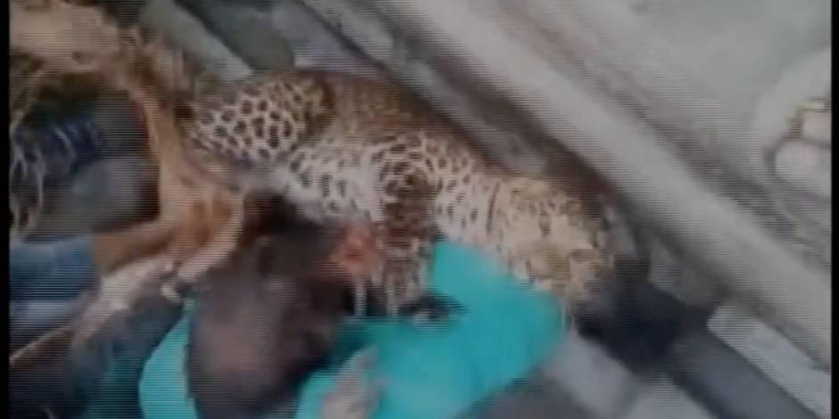 Un léopard s'échappe et sème la panique en Inde (VIDEO)