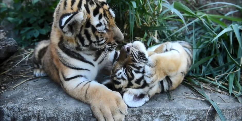 Voici à quoi ressemblent des tigres du Bengale, 45 jours après leur naissance (VIDEO)