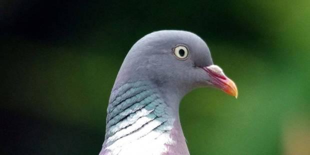 Un pigeon belge vendu aux enchères pour une somme record! - La DH