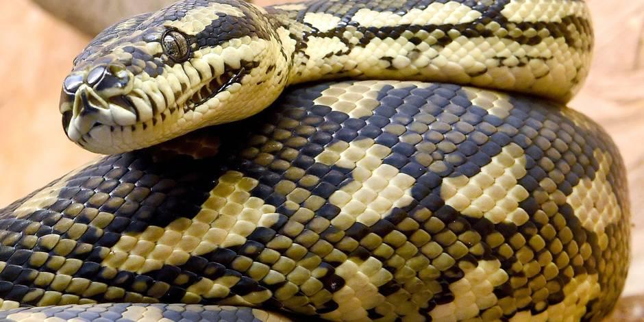 Indonésie: un homme retrouvé dans le ventre d'un... python