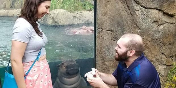 Un hippopotame, star d'une demande en mariage - La DH