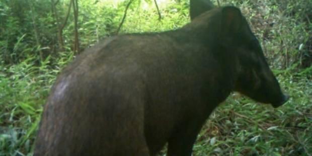 """""""Le cochon le plus laid au monde"""" aperçu en Indonésie - La DH"""