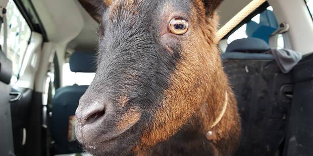 La Louvière: sortie en milieu scolaire pour Lady la chèvre - La DH