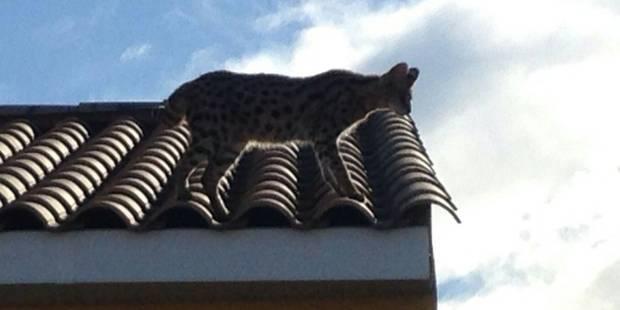La police française a arrêté... un gros chat - La DH
